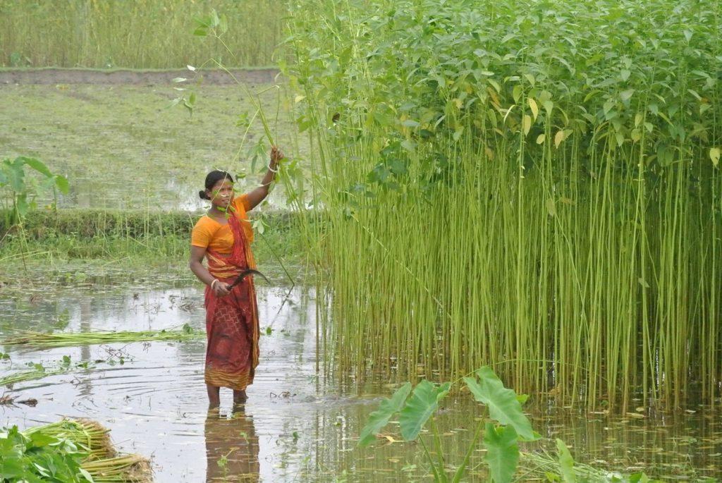 ジュート収穫の様子